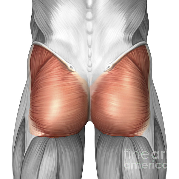 Color Image Digital Art - Close-up View Of Human Gluteal Muscles by Stocktrek Images