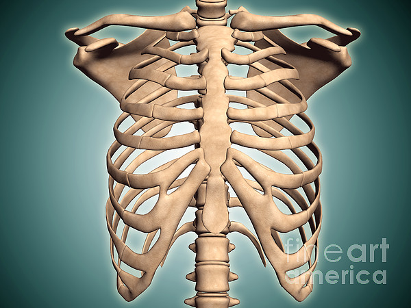 Green Background Digital Art - Close-up View Of Human Rib Cage by Stocktrek Images