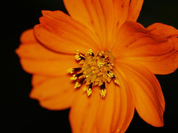 Landscape Photograph - Closeup Cosmos by Monica Veraguth