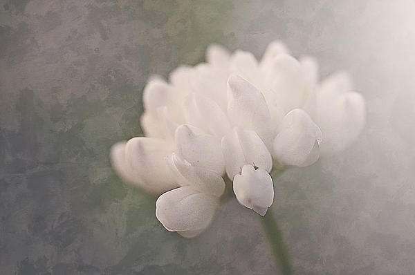 Clover Photograph - Clover In White by Faith Simbeck