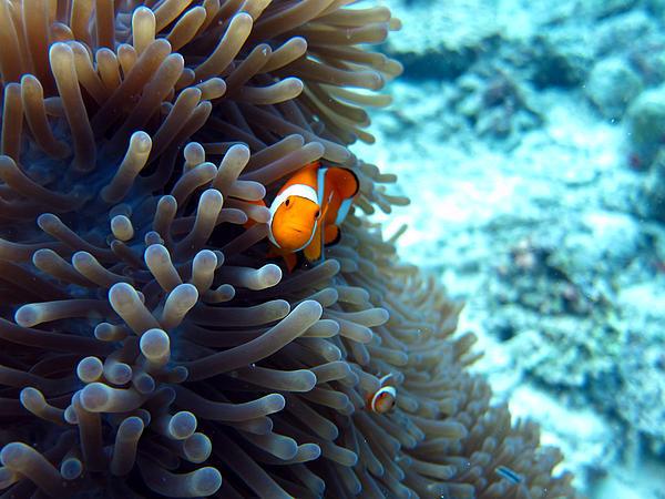 Sipadan Photograph - Clownfish Borneo by Laura Hiesinger