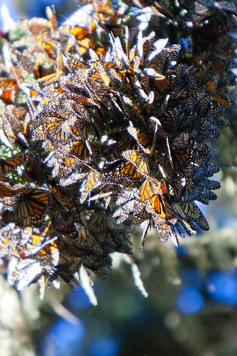 Monarch Butterflies Photograph - Clustering Monarch Butterflies by Patricia Sanders