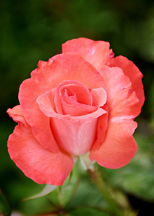 One Photograph - Cobra Rose  by Christine Till