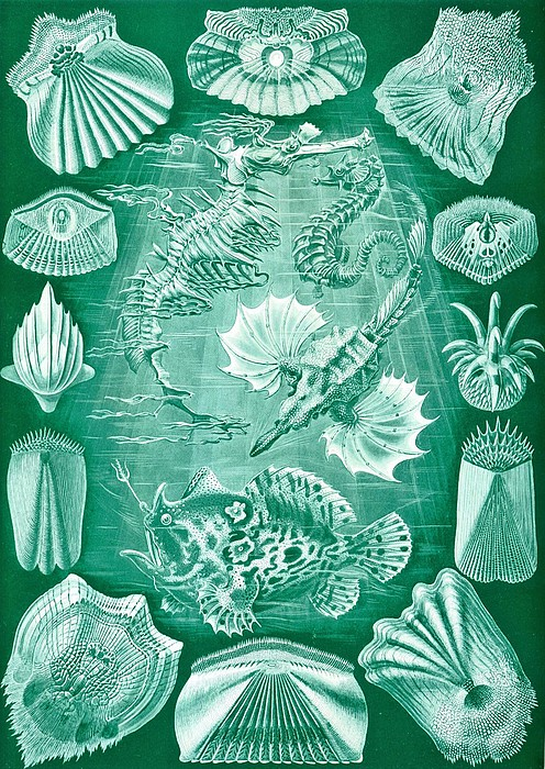 Taxonomy Drawing - Collection Of Teleostei by Ernst Haeckel