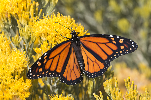 Colorful Monarch Butterfly Denver Colorado Photograph by Milehightraveler