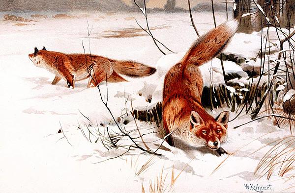 Animals Digital Art - Common Fox In The Snow by Friedrich Wilhelm Kuhnert