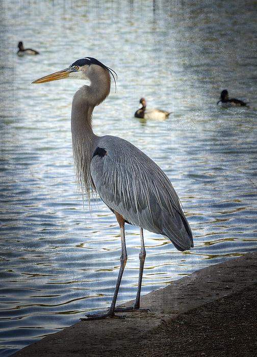 Great Blue Heron Photograph - Contemplating  by Saija  Lehtonen