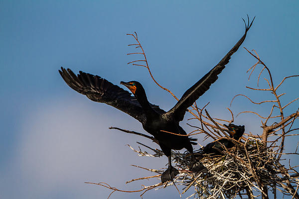 Adult Photograph - Cormorant Parent Flying Out by Andres Leon