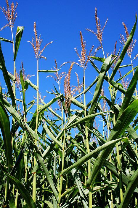 Farm Photograph - Corn Field Rural America by Heather Allen