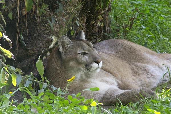 Lion Photograph - Cougar by Jim Walker