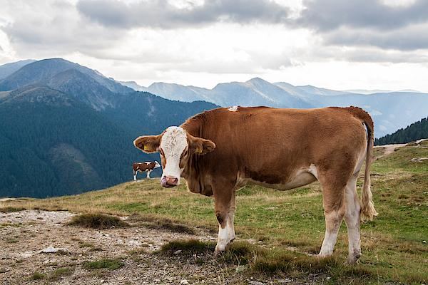 Cows On Field Against Mountains Photograph by John Thurm / EyeEm