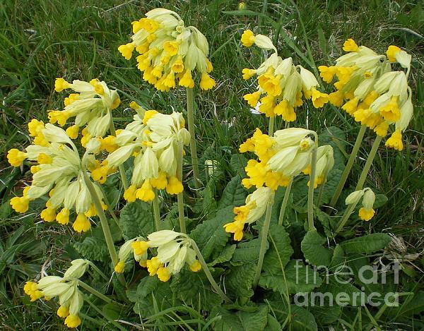 Flora Photograph - Cowslips Wildflowers. by Ann Fellows