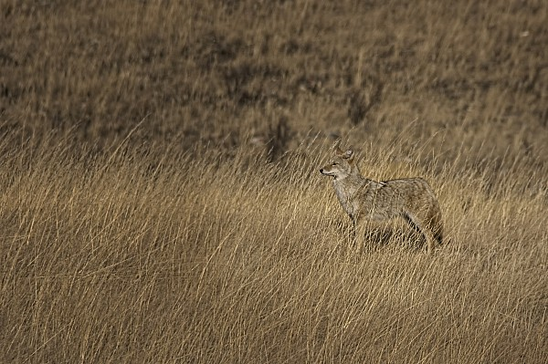Light Photograph - Coyote Standing In Field Of Dried by Roberta Murray