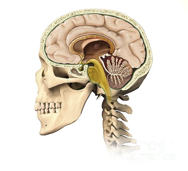 Anatomy Digital Art - Cutaway View Of Human Skull Showing by Leonello Calvetti