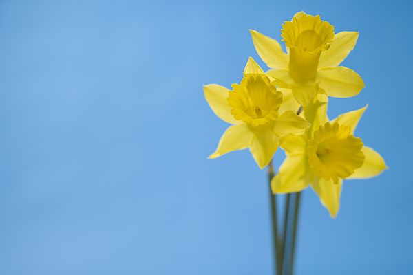 Daffodils Photograph by Comstock Images