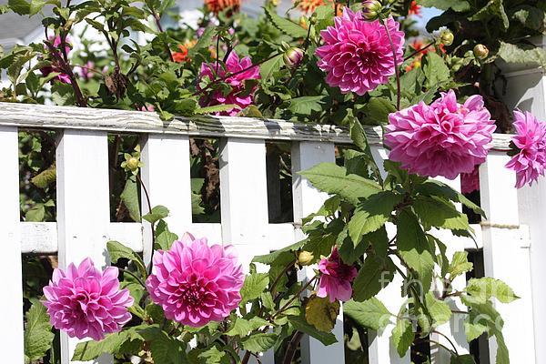 Dahlia Photograph - Dahlias Over The Fence by Carol Groenen