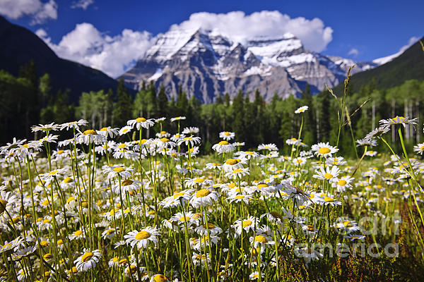 Daisies Photograph - Daisies At Mount Robson by Elena Elisseeva