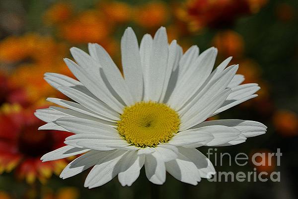 Flower Photograph - Daisy by Nur Roy