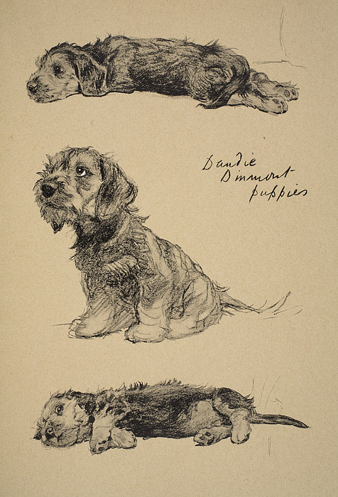 Dog Drawing - Dandie Dinmont Puppies, 1930 by Cecil Charles Windsor Aldin