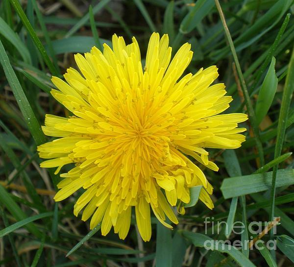 Dandelion Photograph - Dandy by Polly Anna