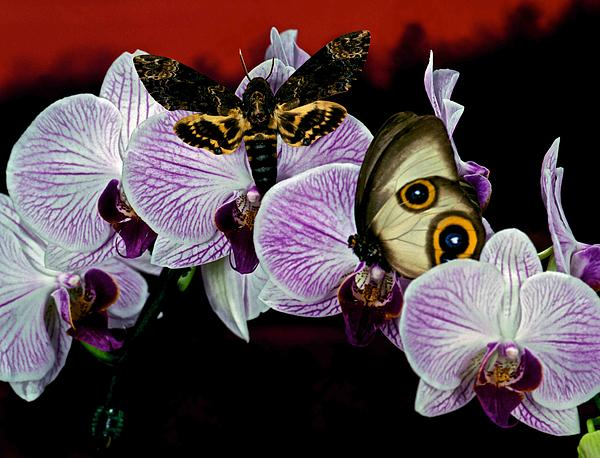 Agrius Photograph - Death Heads Moth Meets Silky Owl Butterfly On Orchid Flower by Leslie Crotty