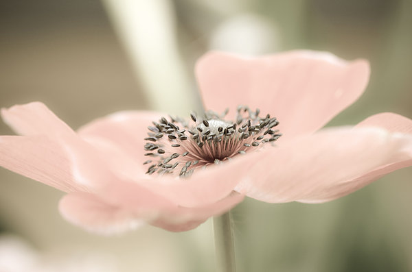 Flower Photograph - Delicate Anemone by Julie Palencia