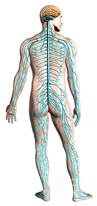 Anatomy Digital Art - Diagram Of Human Nervous System by Leonello Calvetti