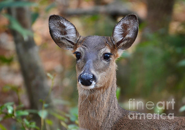 Deer Photograph - Doe Portrait by Kathy Baccari