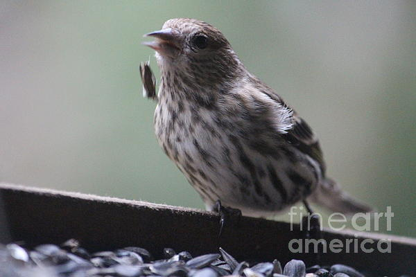 Finch Photograph - Done Eating That Seed by Kym Backland