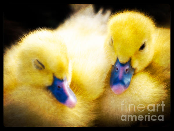 Ducklings Photograph - Downy Ducklings by Edward Fielding