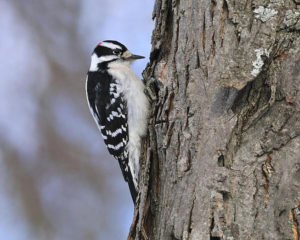 Downy Woodpecker Photograph - Downy Woodpecker by Tony Beck