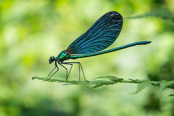 Dragonfly - European Damselfly Photograph by Beppeverge