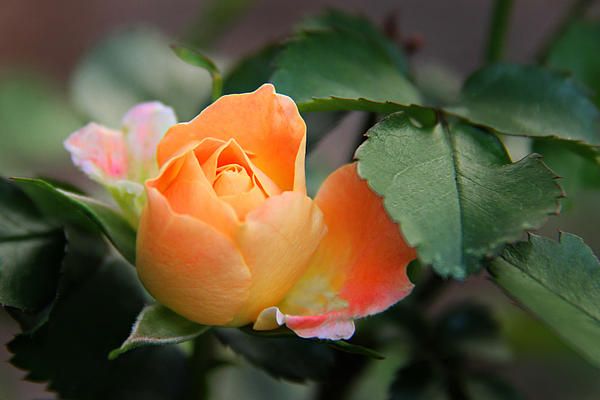 Rose Photograph - Dreamsicle by Leslie Kirk