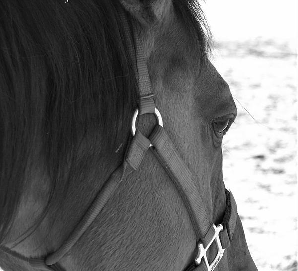 Horse Photograph - Drifter by Becca Wilson