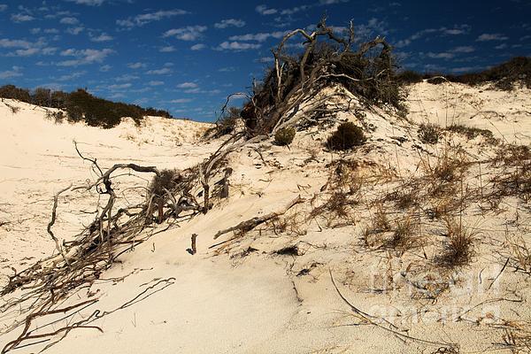 St Joseph Peninsula State Park Photograph - Dune Glue by Adam Jewell