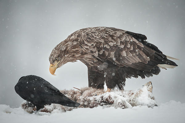 Norway Photograph - Eagle And Raven by Andy Astbury