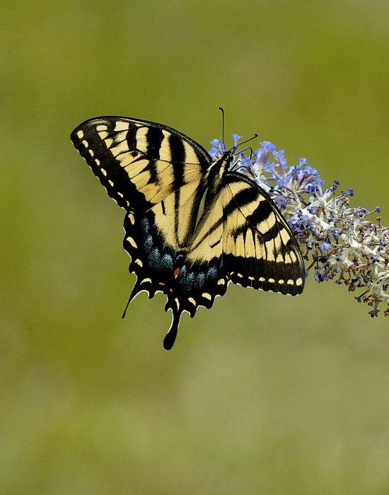 Butterfly Photograph - Eastern Tiger Swallowtail On Butterfly Bush by Lara Ellis