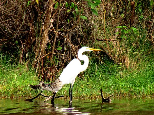 Great Egret Photograph - Egret And Ducks by Will Boutin Photos
