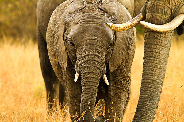 Africa Pyrography - Elephant Family by Kongsak Sumano