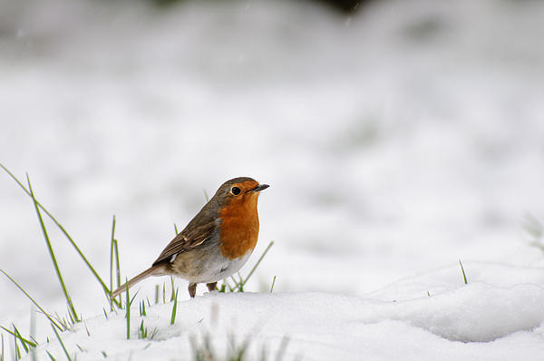 Robin Photograph - English Robin by Ivelin Donchev