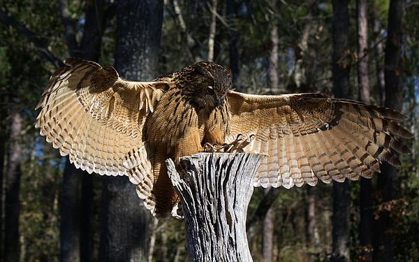 Eurasian Eagle Owl Photograph - Eurasian Eagle Owl Coveting His Prey by Paulette Thomas