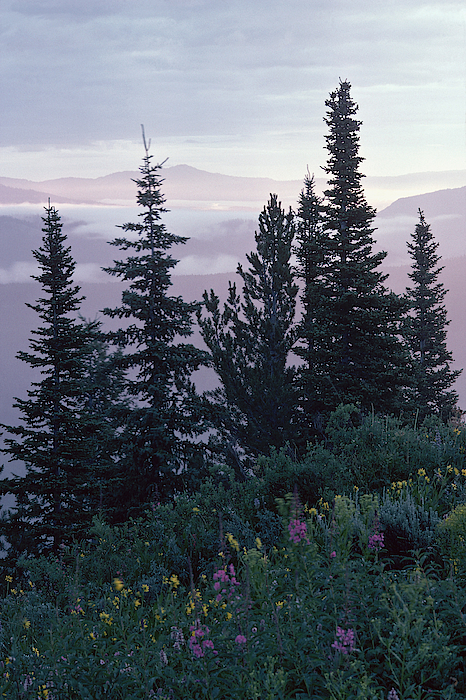 Evergreen Trees And Wildflowers In Alpine Meadow Photograph by Comstock