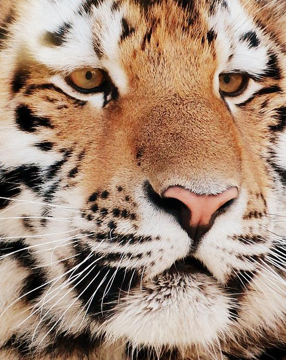 Tiger Photograph - Eye Of The Tiger by Ramona Johnston