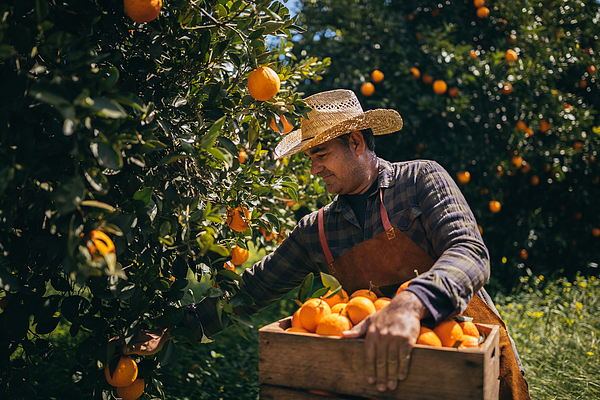 Farmer Picking Ripe Oranges From Orange Trees In Orange Grove Photograph by Wundervisuals