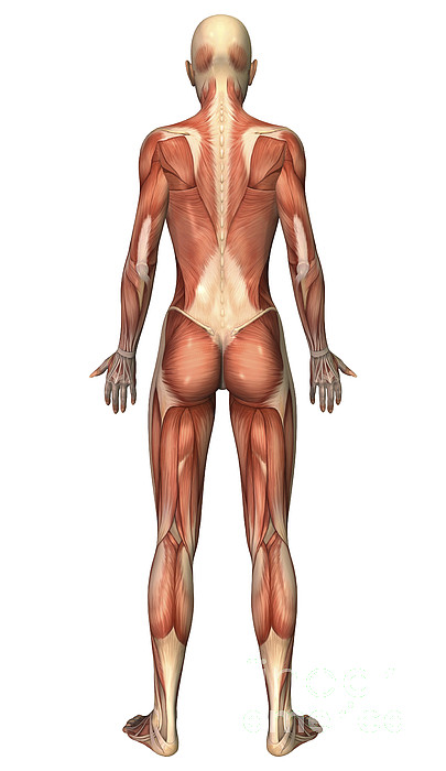 Vertical Digital Art - Female Muscular System, Back View by Stocktrek Images
