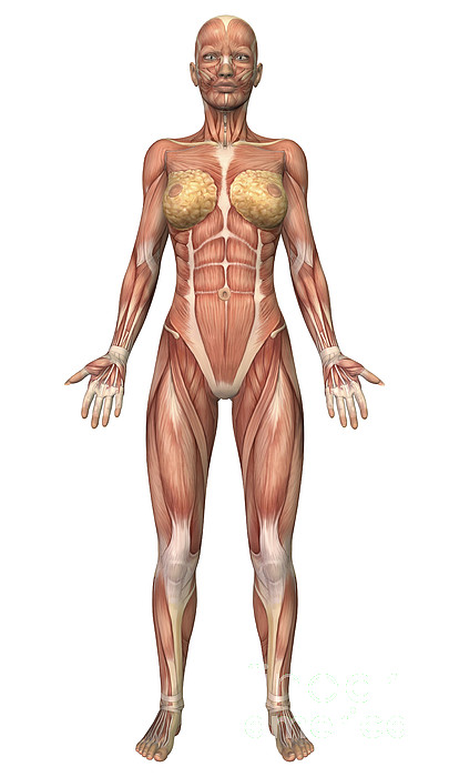 Vertical Digital Art - Female Muscular System, Front View by Stocktrek Images