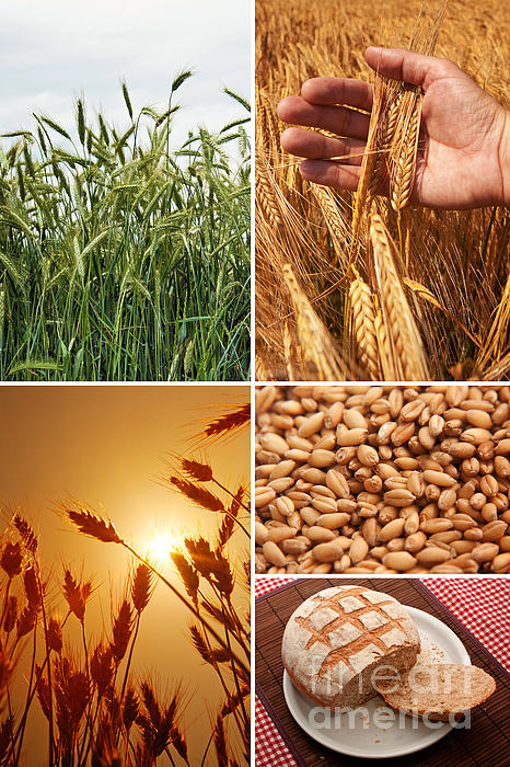 Fields And Grain  Photograph - Fields And Grain Collage Art by Boon Mee