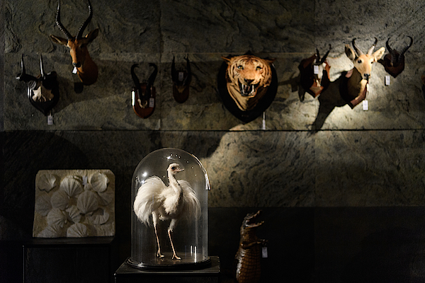 First Dodo Skeleton In 100 Years To Be Auctioned Photograph by Leon Neal
