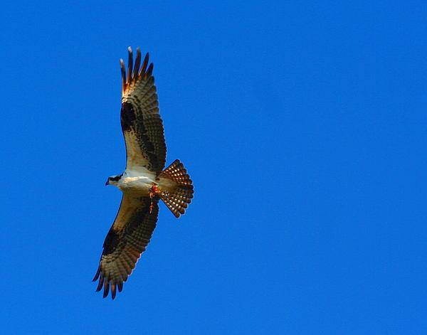 Osprey Photograph - Fishhawk In Flight by April Wietrecki Green