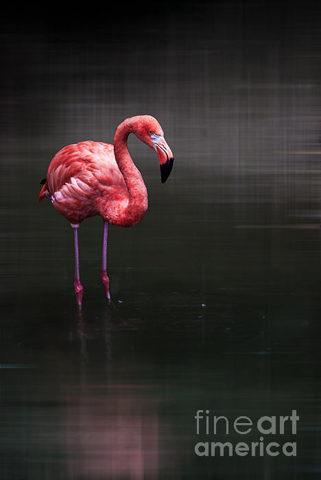 Animal Photograph - Flamingo  by Hannes Cmarits